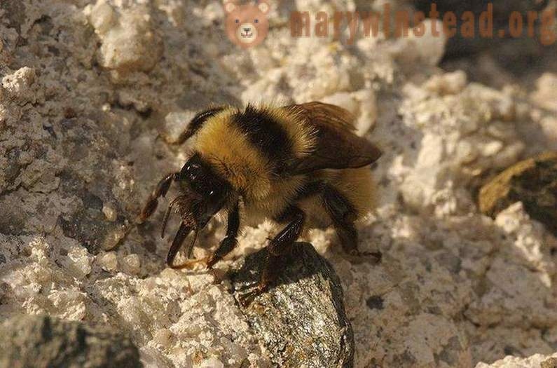 Bumblebees. Interesting Facts
