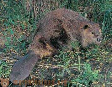 Hunting for beaver - difficult, but exciting